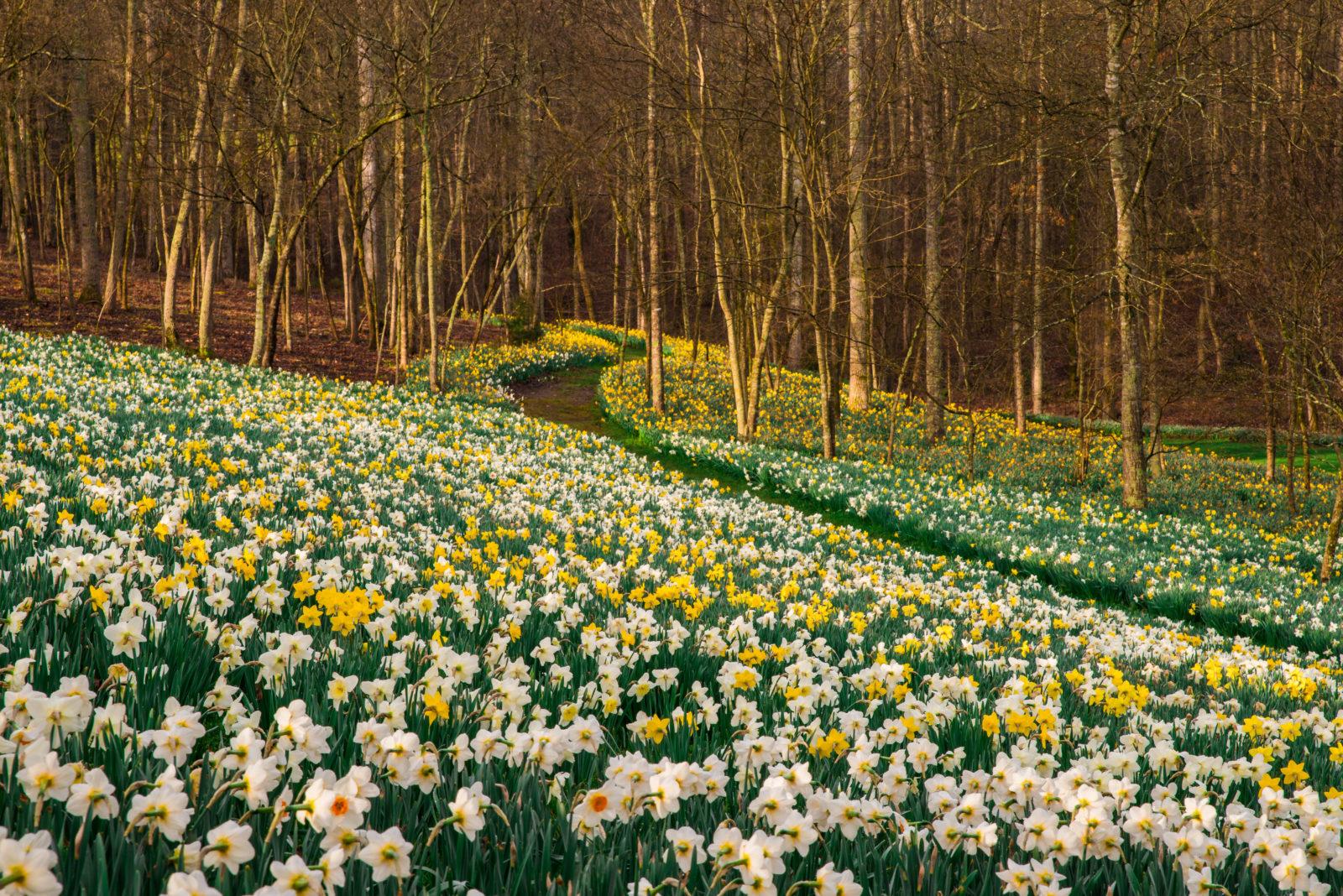 daffodils-in-morning-light-march-21-2015-david-a-e1514940804986