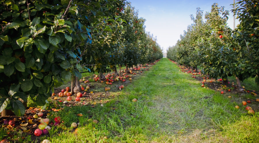 an-apple-orchard-in-the-pacific-northwest