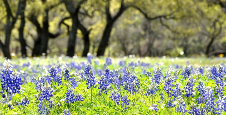 Bluebonnets in the Texas Hill County