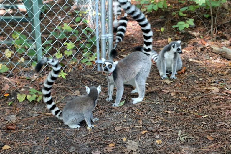 Duke Lemur Center in Durham, North Carolina