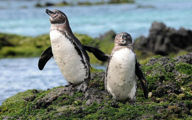 Penguins on Galapagos Island