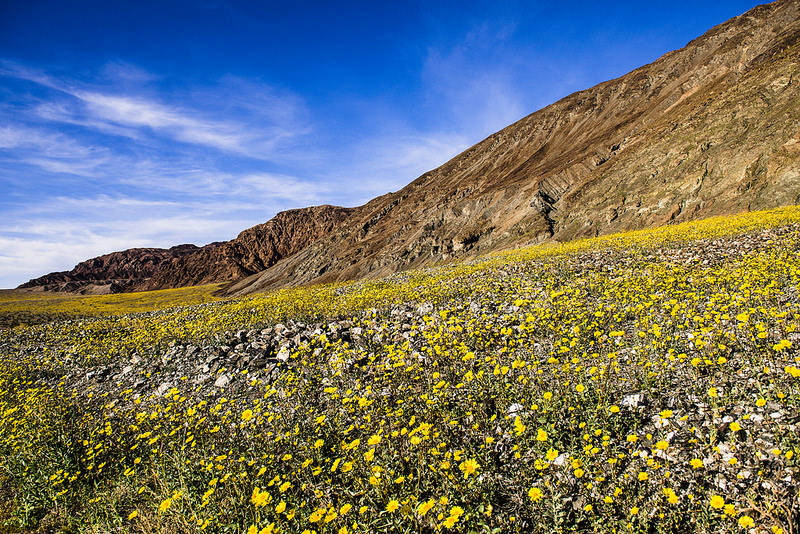 Death Valley is one of the best places to see wildflowers in California with kids.