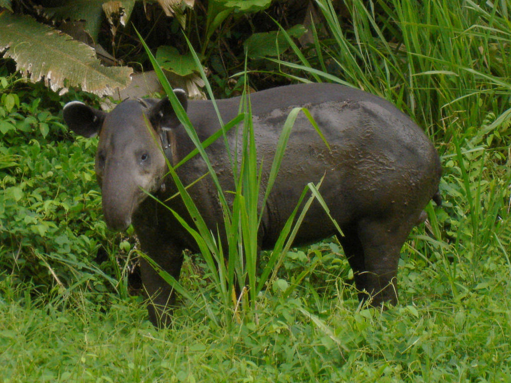Baird's tapir in Corcovado National Park