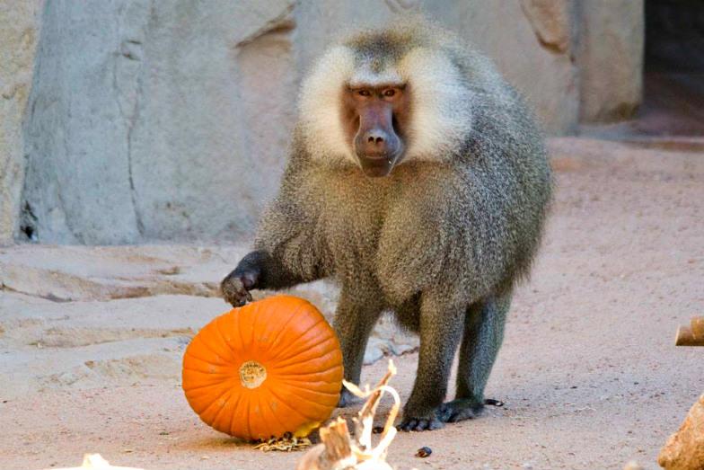 Animals get their treats too at the Phoenix Zoo's Boo! at the Zoo.