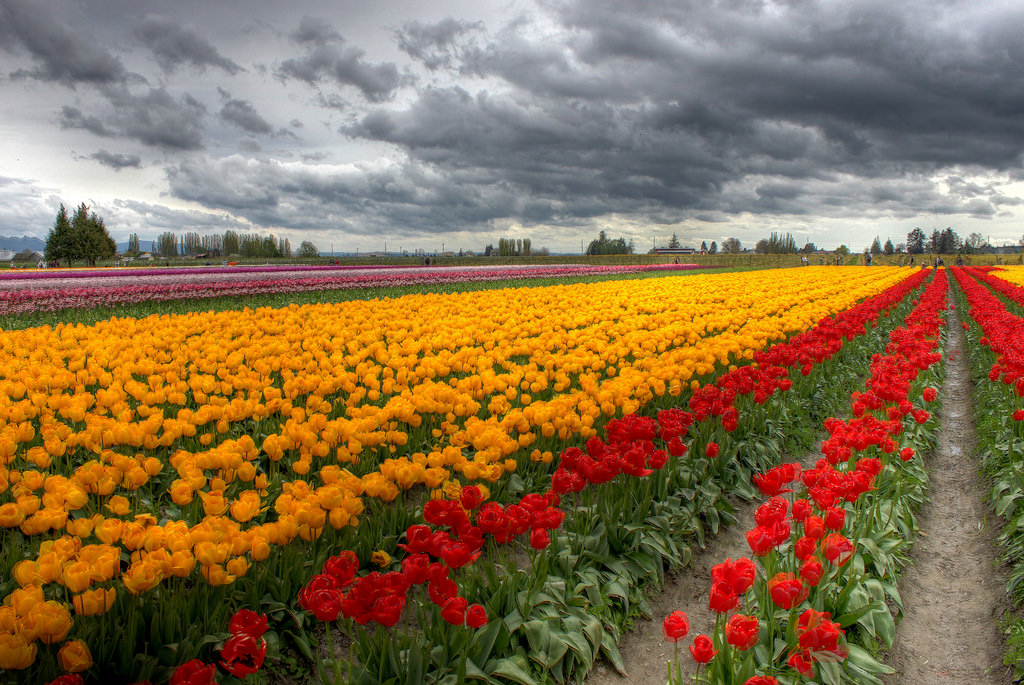 Tulip Festival in Skagit Valley, Washington