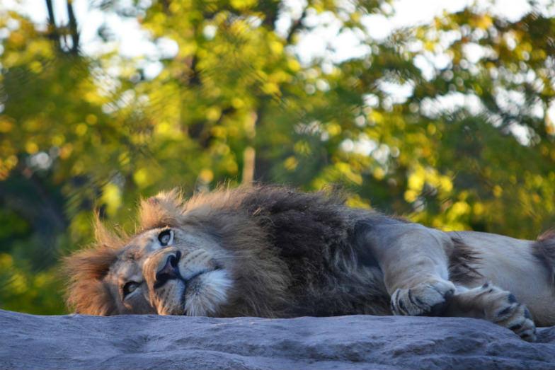 Lion at Seneca Park Zoo