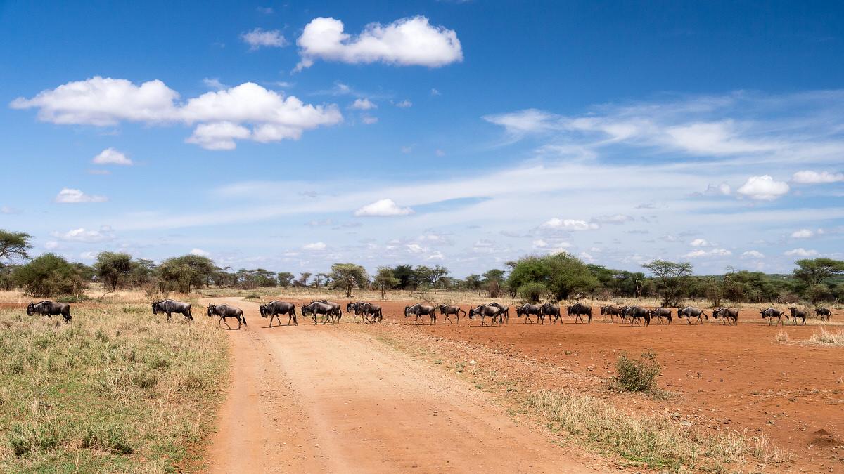 Gnus (Wildebeests) in Serengeti, Tanzania
