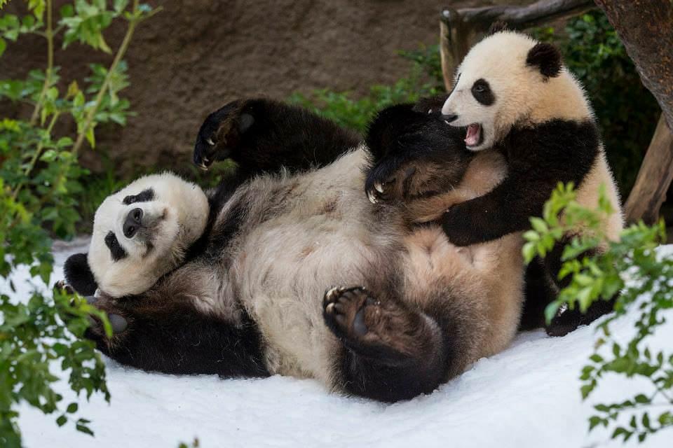 Pandas at San Diego Zoo