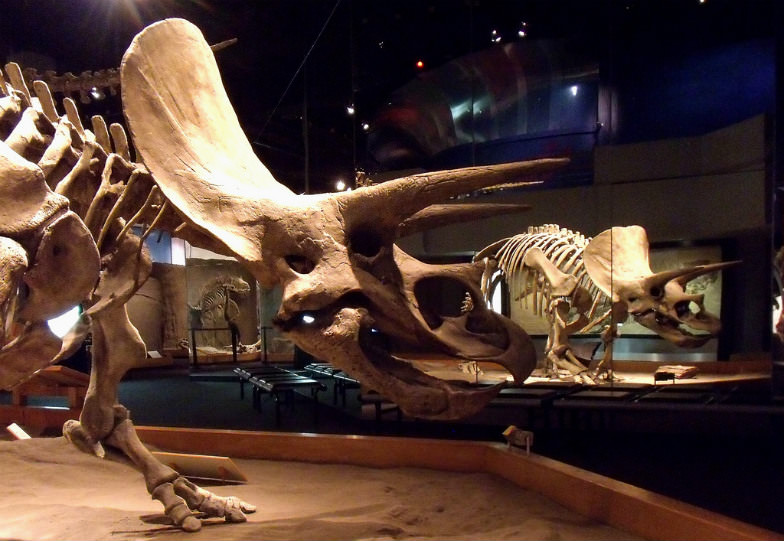Triceratops in the Dinosaur Hall, Royal Tyrrell Museum