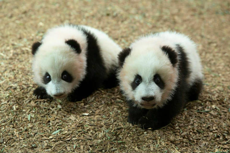 Party at night with pandas at Zoo Atlanta.