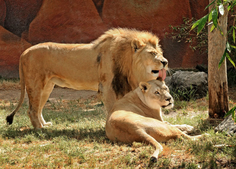 Camp out and see lions up close at the LA Zoo.