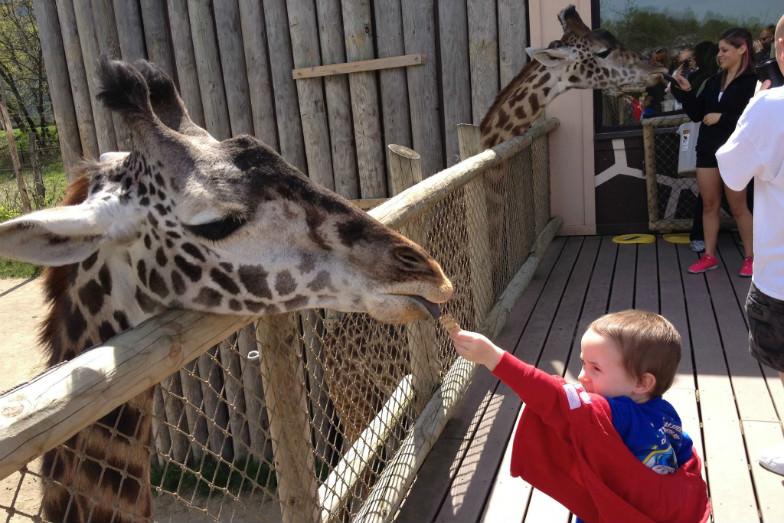 Camp next to giraffes at the Cincinnati Zoo.