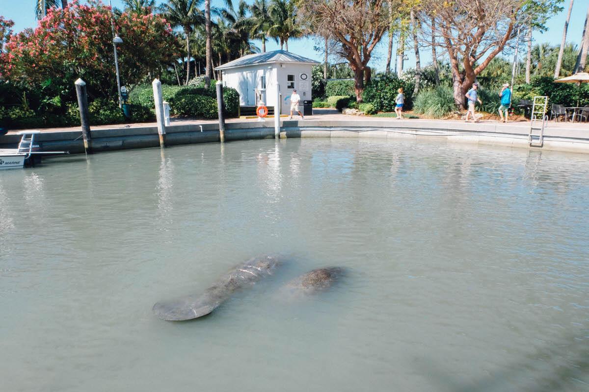 Manatees resting at the marina at South Seas Island Resort