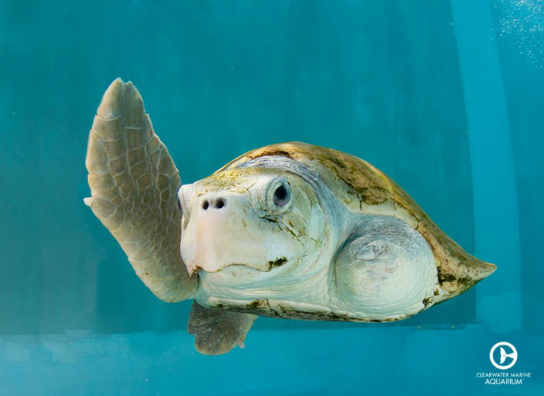 Turtle at Clearwater Marine Aquarium
