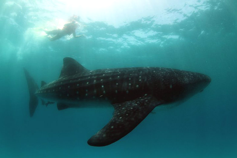 Snorkeling with whale sharks with JW Marriott Cancun Resort & Spa