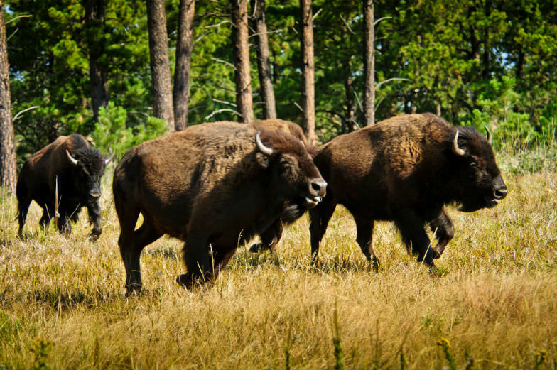 Buffalo Roundup in Custer State Park