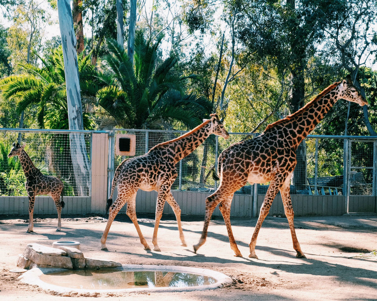 San Diego Zoo is worth the 40-minute drive from Carlsbad.