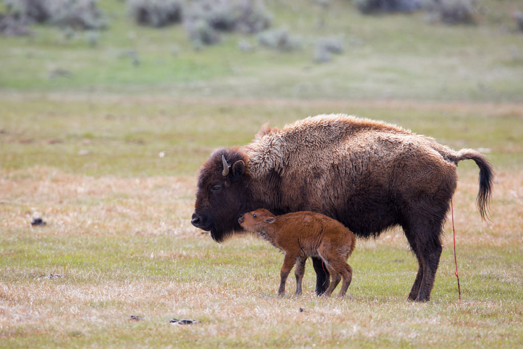 Bison and calf in Yellowstone