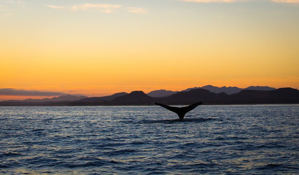 Whale watching at sunset in the Sea of Cortez