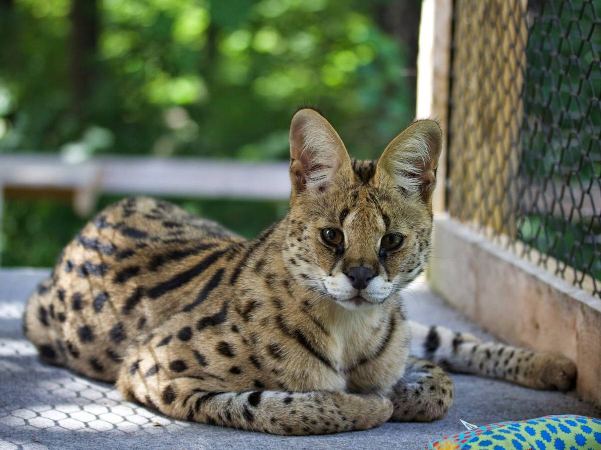 African Serval at Animal Adventures