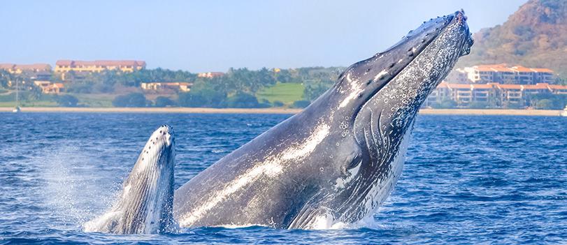 Go whale watching in Puerto Vallarta with Vallarta Adventures.