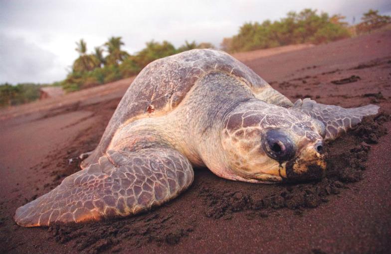 Turtle in Tortuguero