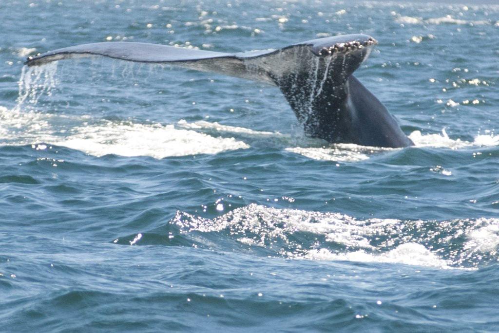 Whale watch in Puerto Vallarta