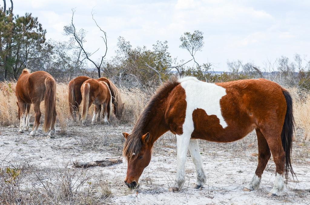 Wild ponies of Assateague Island