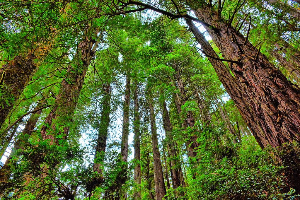 Trees of Mystery at Redwood National Park